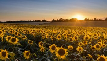 AH-sunflowers-Nov-20-1
